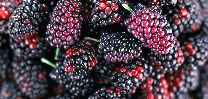 khasiat buah mulberi